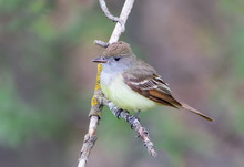 Closeup Of Great Crested Flycatcher Bird Quietly Perching On Tree Branch