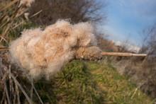 Fluff Of Cattail