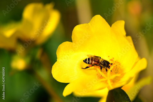 Plakat Kolorowe kwiaty i pszczoły, które zjadają nektar rano w pięknym ogrodzie.