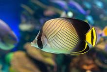 Vagabond Butterflyfish (Chaetodon Vagabundus) - Coral Fish