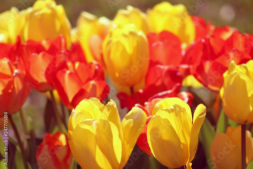 Photo  Red and Yellow tulips