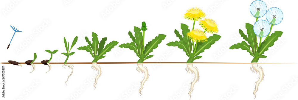 Fototapety, obrazy: Life cycle of dandelion plant or taraxacum officinale. Stages of growth from seed to adult plant