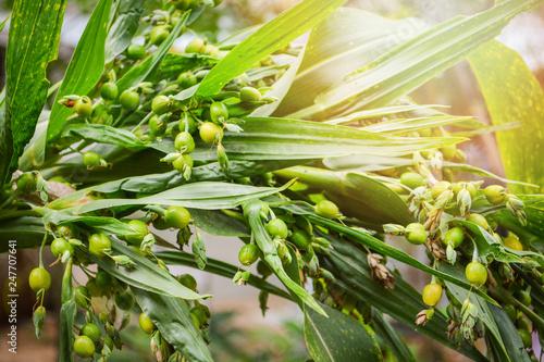 Fototapeta  Job's tears coix lachryma jobi / Green fruit of Job tears plant on the tree