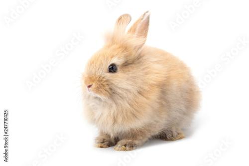 Fototapeta Brown adorable baby rabbit on white background. obraz na płótnie