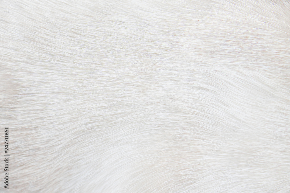 Fototapeta Fur cat light gray or white  texture abstract for background , Natural animal patterns skin