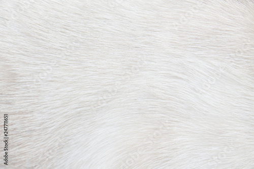 Fotomural Fur cat light gray or white  texture abstract for background , Natural animal pa