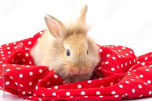 Fotodibond 3D Brown uroczy dziecko królik na czerwonym tkaniny tle.