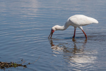An African Spoonbill Hunts For...