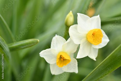 Poster de jardin Narcisse 水仙
