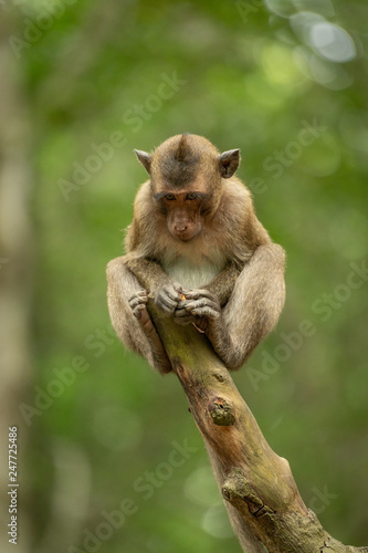 Photo Stands Koala Baby long-tailed macaque on stump looking down
