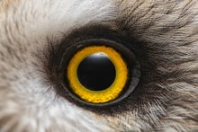 Owl's Eye Close-up, Macro Photo, Eye Of The Short-eared Owl, Asio Flammeus
