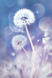 Fototapeta Dmuchawce - White dandelions in the field. Image in delicate pastel blue and pink colors. Natural spring and summer background.