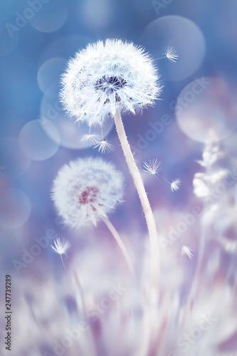 biale-mlecze-na-polu-obraz-w-delikatnych-pastelowych-kolorach-niebieskim-i-rozowym-tlo-wiosna-i-lato
