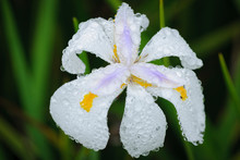 Wild Iris Or Fairy Iris (Dietes Grandiflora). KwaZulu Natal. South Africa