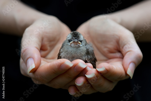 Juvenile bird fate is in the hands of human..Fledgling bulbul bird sitting in mercy hands looking at photography with black background,front view.. - 247740005