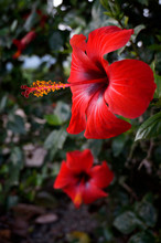 Red Hibiscus Flowers On A Gree...