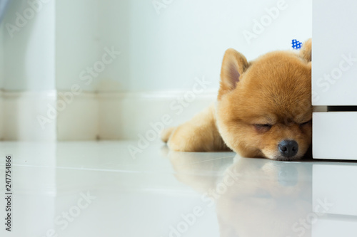 Foto  pomeranian puppy dog cute pet sleeping