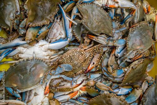 Fresh blue crab Canvas Print