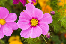 Close Up Of Blooming Cosmos Bipinnatus (commonly Called The Garden Cosmos Or Mexican Aster) A Flowers Filed In Daocheng, Ganzi, Sichuan, China