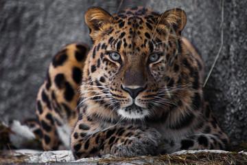 izgledati brutalno, ležeći amurski leopard, moćna šarolika velika mačka gleda ravno očima grabežljivca.