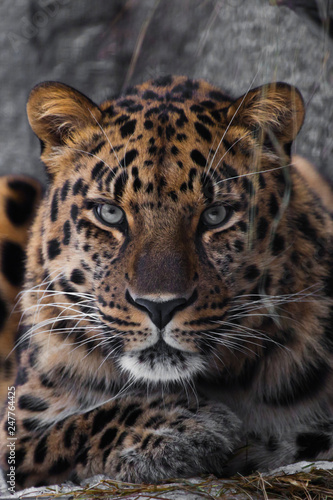 Poster Leopard look brutal, lying Amur leopard, powerful motley big cat looks straight through the eyes of a predator.