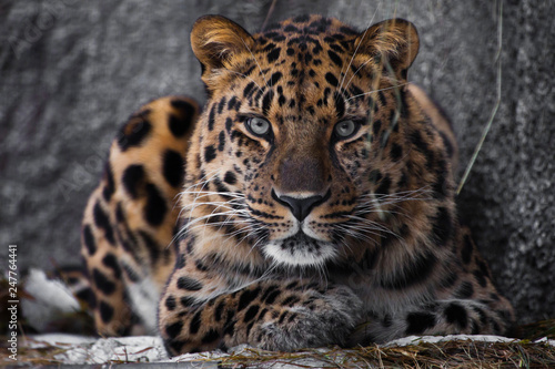 Photo look brutal, lying Amur leopard, powerful motley big cat looks straight through the eyes of a predator