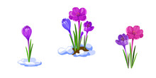 Crocuses Illustration. Early Spring Flowers Isolated On White Background.
