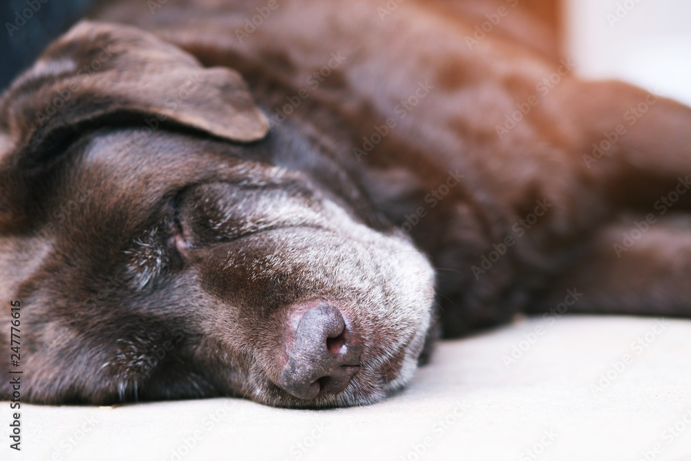Fototapeta The dog sleeping or resting with closed eyes. sad get sick and sickness waiting in front of the house. Straight looking face. Pets concept. soft focus.