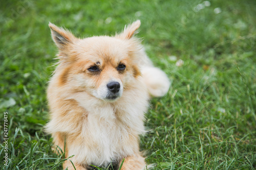 Foto  Portrait of cute small yellow mongrel dog laying in grass outdoors