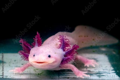axolotl mexican salamander portrait underwater © Andrea Izzotti