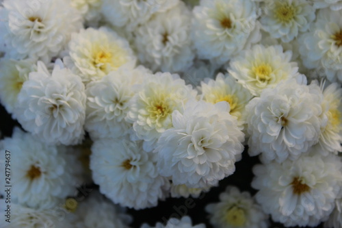 white flowers on a black background #247794637