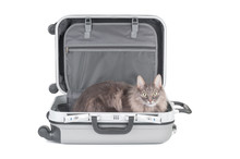 Gray Cat In Travel Bag Close U...