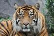 canvas print picture - Tiger
