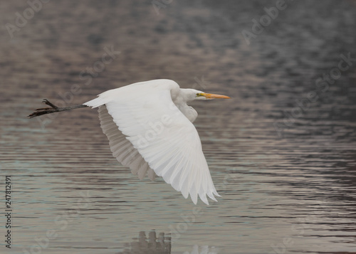 A great egret flies low with it's wings in a downbeat above still water.