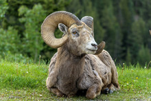 Bighorn Sheep Ram - A Bighorn Sheep Ram Resting On A Green Meadow At Edge Of A Mountain Forest  Near Two Jack Lake, Banff National Park, Alberta, Canada.