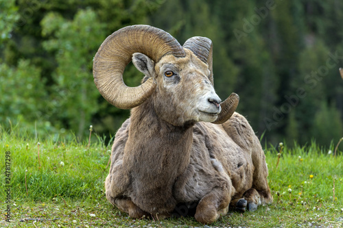 Bighorn Sheep Ram - A bighorn sheep ram resting on a green meadow at edge of a mountain forest  near Two Jack Lake, Banff National Park, Alberta, Canada Canvas Print