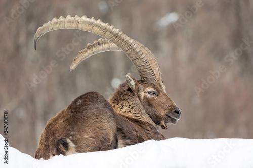 Stambecco delle Alpi (Capra ibex) Fototapet