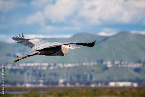 Fotografie, Obraz  Great Blue Heron (Ardea herodias) flying over the marshes of south San Francisco