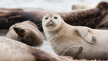 Horsehead Seal On Helgoland Is...