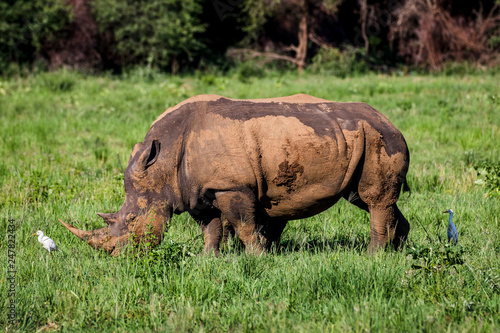 Canvas Prints Rhino White rhino, covered in mud, eating grass in City of Tshwane, Gauteng, South Africa