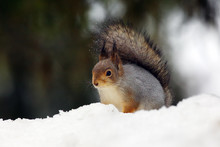 The Red Squirrel Or Eurasian Red Sguirrel (Sciurus Vulgaris) Sitting On The Snow In The Scandinavian Forest. Squirrel In A Typical Environment.