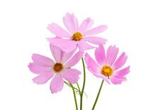 Cosmea Flowers Isolated