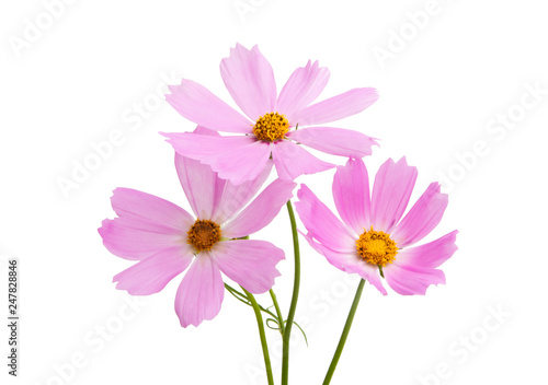 Canvas Prints Universe Cosmea flowers isolated