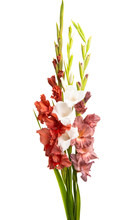 Bouquet Of Gladioli Isolated