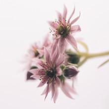 Close Up Of Houseleek Flower