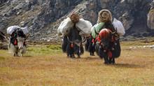 Caravan Of Yaks Carrying Heavy...