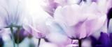 Fototapeta Tulipany - tulpenblüte in hellem licht
