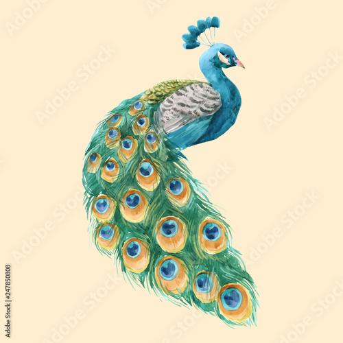Carta da parati Watercolor peacock vector illustration