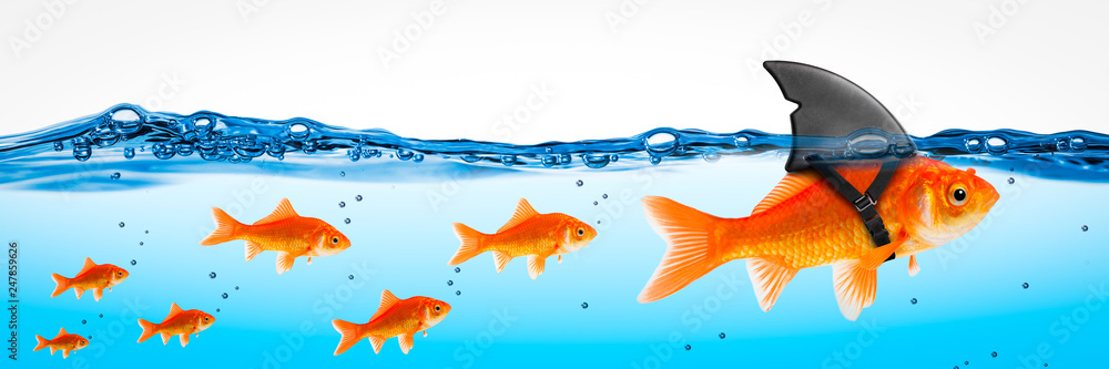 Fototapeta Small Brave Goldfish With Shark Fin Costume Leading Others  - Leadership Concept