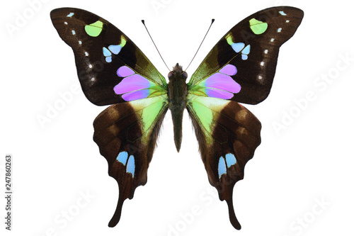 Black blue green colored butterfly from New Guinea (Purple spotted Swallowtail, Canvas-taulu